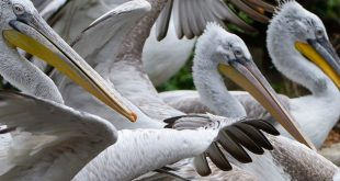 Vogelgrippe-Gesamte-Pelikan-Gruppe