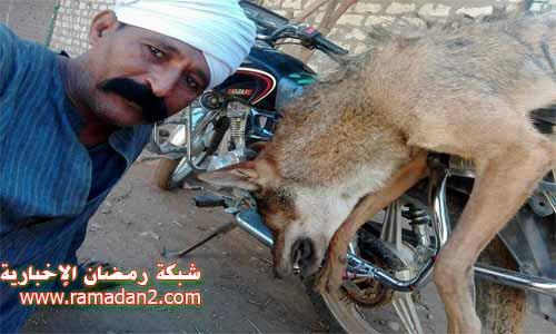 Fox-Abushanab