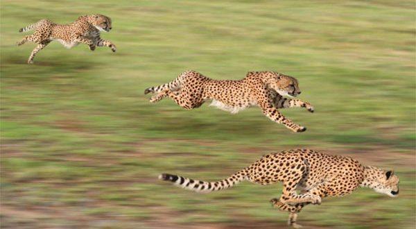 تخاف من الكلاب ولولا ذيلها لهلكت 7 معلومات جديدة ومذهلة عن حيوان الفهد